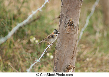 Sparrow on Barbed Wire