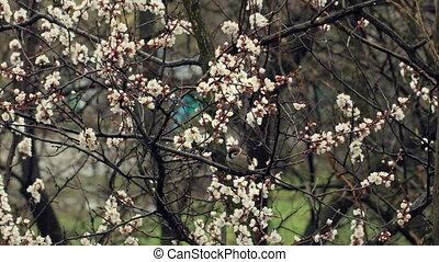 Sparrow on Blossom Tree
