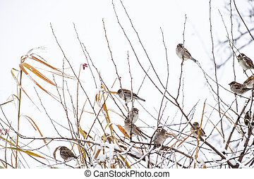 Sparrow on branches of bushes. Winter weekdays for sparrows. Common sparrow on the branches of currants