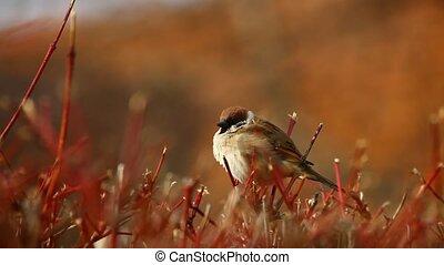 Sparrow on bush - Little sparrow on bald bush, early spring