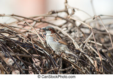 sparrow on dry branches
