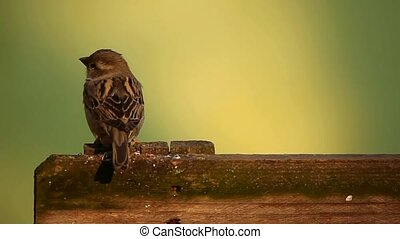 Sparrow on fence - Little sparrow on board fence