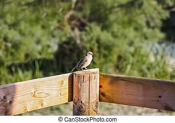 Sparrow on fence post