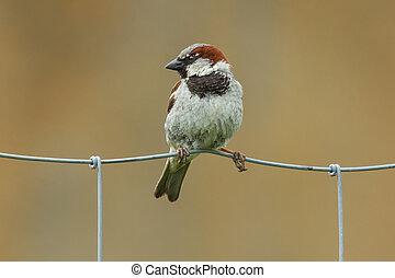 Sparrow on metal fence