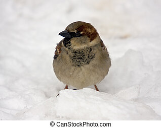 Passer domesticus - Sparrow on snow close up (Passer ...