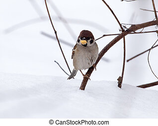 sparrow on snow in the winter