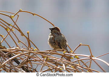 Sparrow on the branches