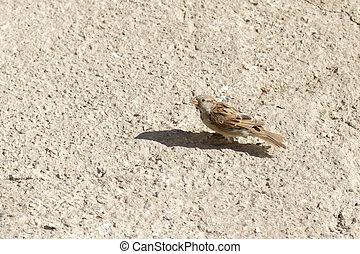 Sparrow on the floor