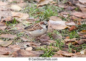 sparrow on the grass