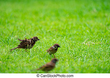 Sparrow on the green field.