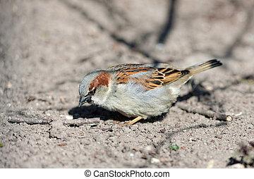 sparrow on the ground