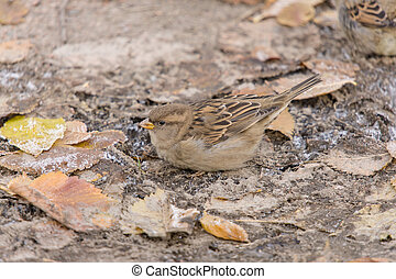 sparrow on the ground