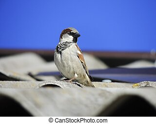 Sparrow on the roof