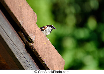 Sparrow on the roof top