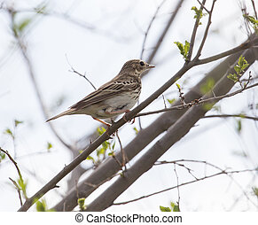Sparrow on the tree in nature