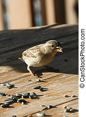 Sparrow pecks grain