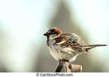 Sparrow Perched on Pole, Closeup,