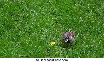 Sparrow picking crumbs from grass - One grey gray greedy...