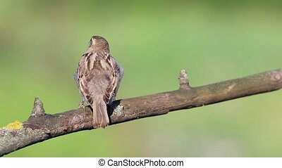 sparrow shakes off feathers and flies away from the branch ,...