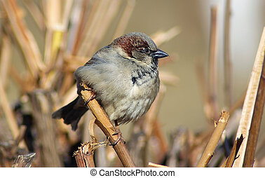 Sparrow sits on a branch