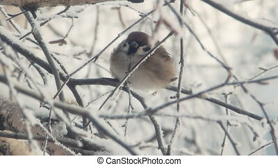 Sparrow sits on a snow-covered branch