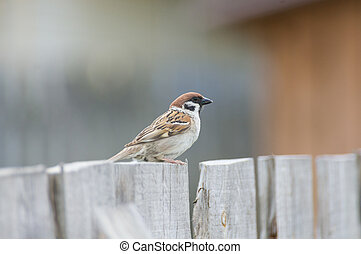 Sparrow sits on fence