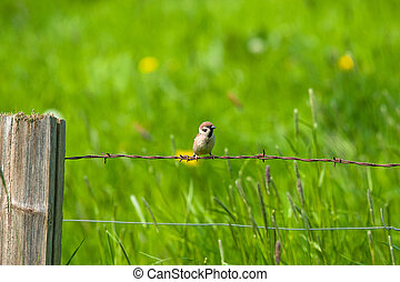 Sparrow sitting in rural environment