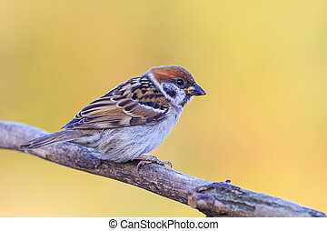 sparrow sitting on a branch on a yellow background