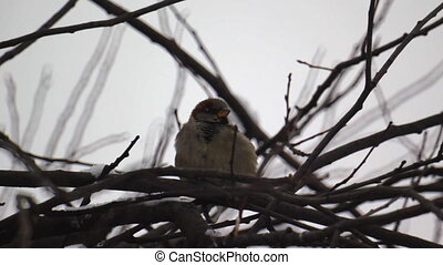 Sparrow sitting on a tree branch during winter snowfall