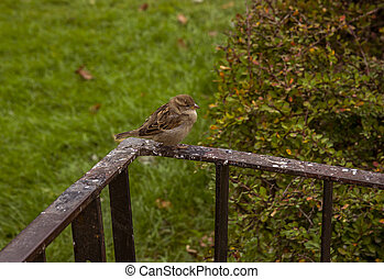 Sparrow sitting on the fence