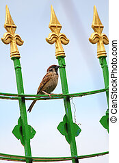 Sparrow sitting on the metal fence