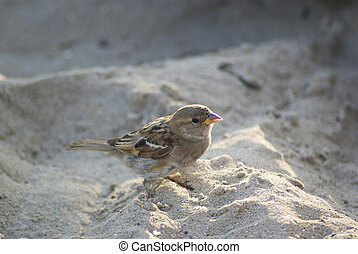 Sparrow stands in the sand. Close-up