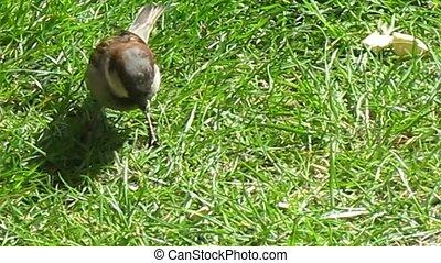 sparrow - eating sparrow