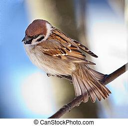 Sparrow - The bird a sparrow sits on a mountain ash branch