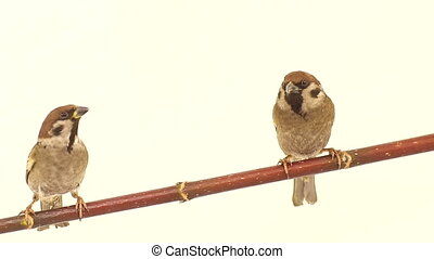 sparrow  isolations on a  white  screen