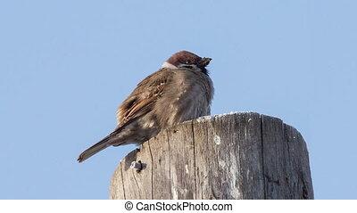 Sparrow - sparrow sitting on a tree stump