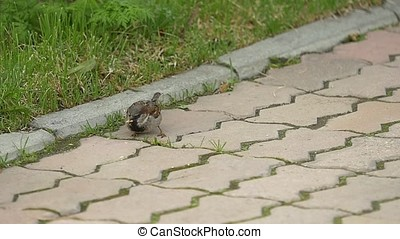 Sparrow with a piece of bread in the beak. Close-up. A...