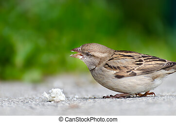 Sparrow with great bread-crumbs