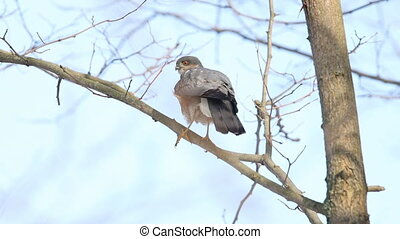 Sparrowhawk sits on a branch and flaps its wings, wildlife