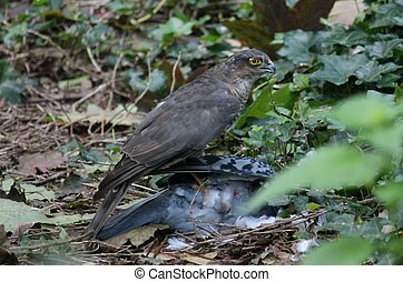 Sparrowhawk with pigeon it hunted