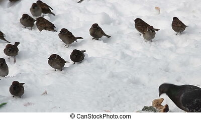 Sparrows and pigeons - Feeding sparrows and pigeons