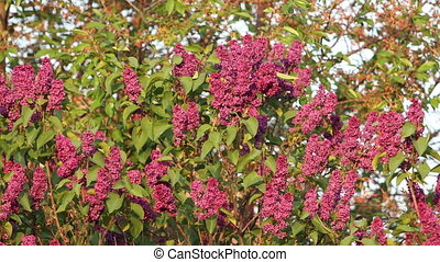 sparrows are jumping among the flowers of lilac , wildlife