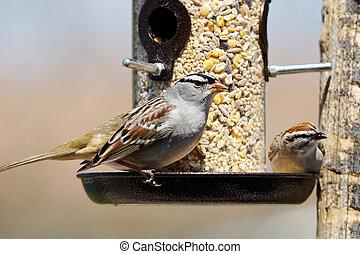 Sparrows at bird feeder - White-crowned sparrow, Zonotrichia...