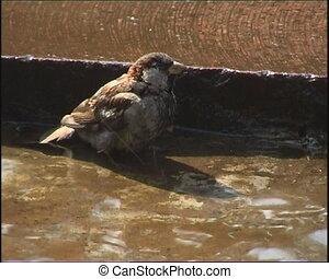 Sparrows bathe in a fountain.