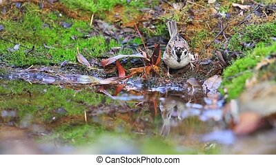 sparrows drink water in a forest puddle, wildlife, animals...