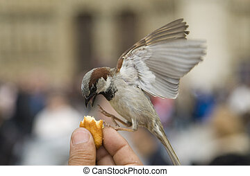 Sparrows being hand fed near Notre Dame de Paris, France
