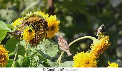 sparrows eating sunflower seeds