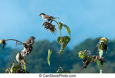 Three sparrows feasting - relatively rare birds now...