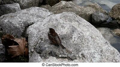 Sparrows feeding on the rocks - Sparrows feeding on the...