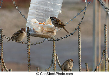 Sparrows having a breakfast. Russia. Kaluga region